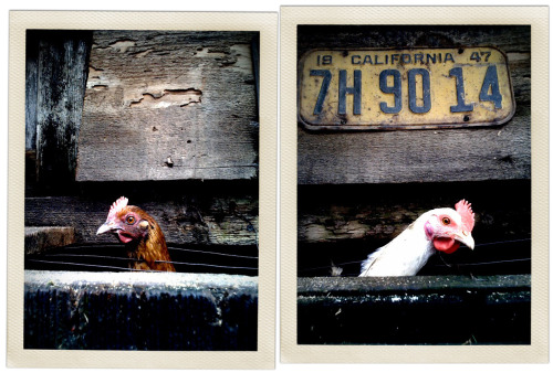 (via claystation) A simple, perhaps forced, diptych of chickens made at a rest stop North of Bakersfield, CA. I think it was the Route 99 Cafe or something like that. This and more like it can be seen here: http://claystation.tumblr.com