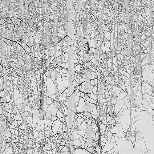 Quaking Aspen in Winter