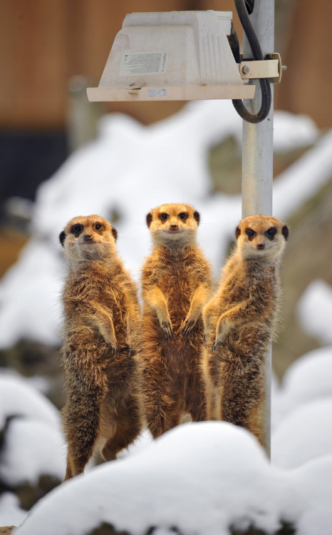 In your current edition of Zoos Are Bullshit, meerkats, native to Botswana and South Africa (think Kalahari DESERT), live in the snow at a zoo in Worms, Germany. But you guys, how else are kids going to learn about animals!? YOU HAVE TO SUFFER FOR YOUR ART, MEERKATS! Brilliant. (Thanks, Jezebel!)