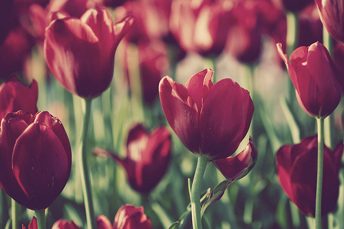 tulips and tulips (via cae3 - Anita)