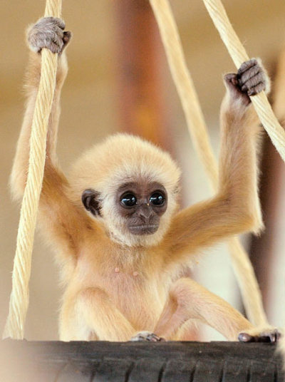 I want him to be my possession inothernews:  TIRE OF CUTE A baby gibbon sits on a swing in its enclosure in Vienna's Schoenbrunn zoo.  (Photo: Reuters via the Telegraph)