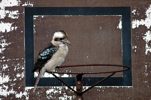 Today's kookaburra