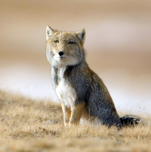 greatunexpectations:  effyesfoxes:  The Tibetan Sand Fox. Who else saw Planet Earth and chocked up when they saw this creature! DIVINE!!! I tell you! This this is pure magesty! Bow down. Native to Tibet, Nepal, China and India.   The binturong of foxes, without a doubt.