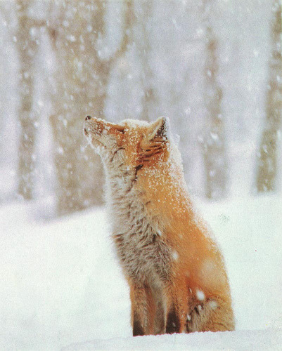 red fox in snow (via phoebe_rousseaux)