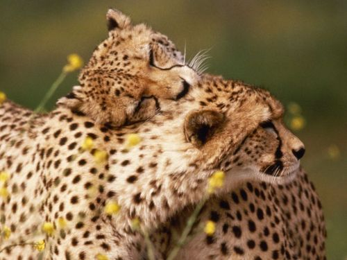 AFFECTIONATE CHEETAHS ©Ron Kimball