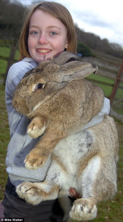 As the son of the world's biggest bunny, it was always likely that Ralph the rabbit was going to be a big buck. But he has well and truly proved a chip off the old block after breaking the record set by his mother Amy - weighing in at more than three stone. Ralph, a continental giant rabbit, is just 12 months old but already weighs more than Amy did before her death in 2009. Owner Pauline Grant relies on handouts from neighbours to feed Ralph - who weighs more than an average three-year-old child and has already become too heavy for her to lift. 'He is just so big. You do not fully realise until you pick him up and he has quite the appetite,' she said.     Read more: http://www.dailymail.co.uk/news/article-1250918/Ralph-rabbit-breaks-mums-record-worlds-biggest-bunny.html?ITO=1708&referrer=yahoo#ixzz0fa4rXUzB