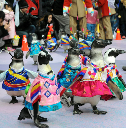 kari-shma:Penguins wearing Korean traditional dress take a walk during an event to celebrate Lunar New Year at Everland amusement park in Yongin, South Korea. | via: Telegraph