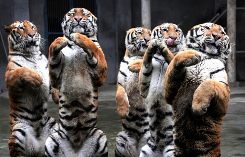 Siberian tigers sit up gesturing to visitors during a show at a zoo on the second day of the Lunar New Year in Fuzhou in southeast China's Fujian province, Monday, Feb. 15, 2010. | via: the big picture