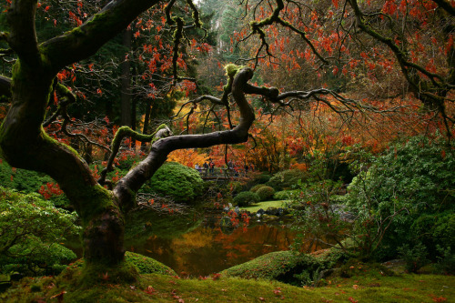Fall Fantasia (via sweber4507) The Portland Japanese Garden, the pond and moonbridge seen through the branches of a Japanese Maple.