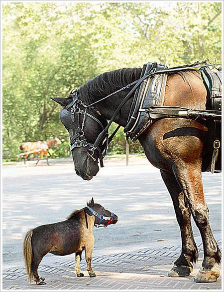 At 17-inches tall, Tuhumbelina is the world's currently smallest pony. She was just 5 years old when she made into the Guinness Book Of Record, living in a farm with a couple who specialize in breeding miniature horses.Unlike the other horse who usually can live for about 35 years old, Thumbelina could only survives for 17 years due to her size . The owners have plenty of stories to be shared about her here.  ..Before Thumbelina, Black Beauty was the smallest horse in the world.
