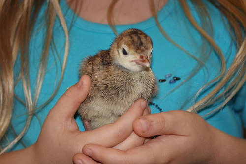 day old turkey chick by jakesmome