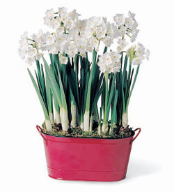 Soon, we'll have fragrant Paperwhites teases our noses. Achooo!
