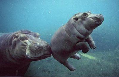 OMG, hippo mommy give baby a push.. how cute!