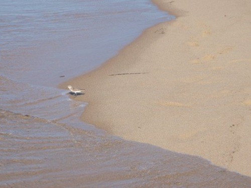 Sandpiper at Cape Cod.