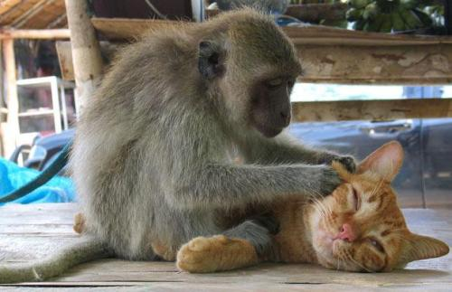 A Macaque monkey grooming ginger tom cat, Koh Phangan, ThailandPicture: NED WIGGINS / REX FEATURES, telegraph uk  via allcreatures