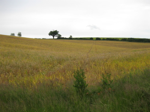 Field of Wheat, Aug 2009
