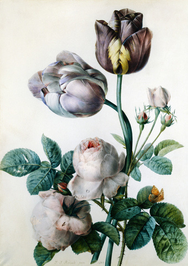 Pierre-Joseph Redouté Cabbage Rose, Two Tulips, a small Tortoiseshell Butterfly and yellow Meadow Ant 1802
