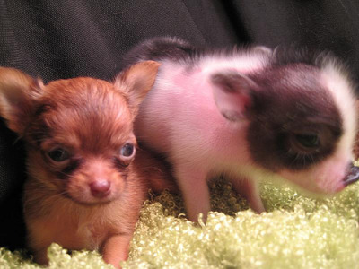 cutecubed:  Teacup chihuahua and piglet (via Flickr)