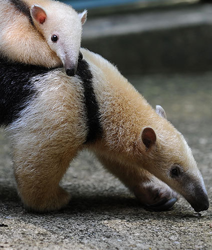 A female anteater (Tamandua mirim) carries her baby at Rio de Janeiro zoo, Brazil. It is the first birth of this highly endangered species at the zoo. Photograph: Vanderlei Almeida/AFP/Getty Images. via guardian uk