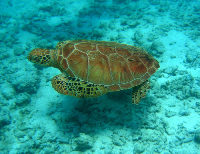 sea turtle, Bora Bora (via firefly242)
