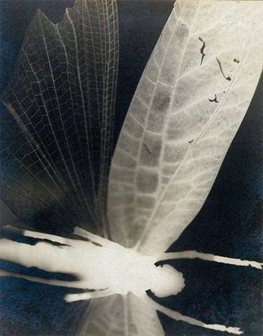 uncertaintimes:  Curtis Moffat (1887-1949). 'Dragonfly'. Solarised gelatin silver  print photogram. About 1930. Victoria &  Albert Museum, London. Ramage