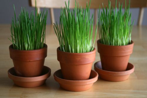 jpmama3:  How to Grow Your Own Wheatgrass | Make and Takes