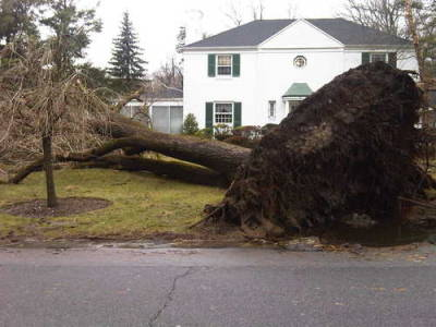 Big tree uprooted