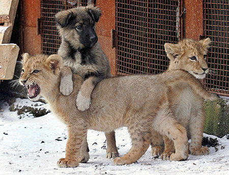 Pup & cubs!! I want this in my backyard. (also I want a backyard)
