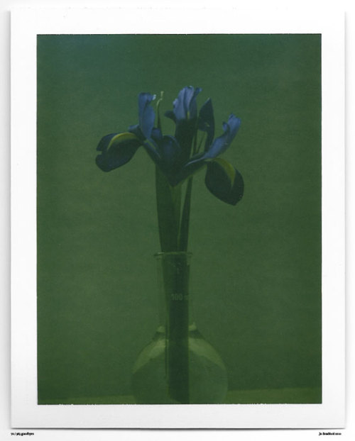 Day 70. A week in Spring flowers, Day 4. A blue iris in the Green - Green Island Studios, Cornwall, UK. Polaroid Land Camera 240 and 125i film (expired 12/2007). (Polaroid photograph, all rights reserved, copyright: Jo Bradford 2010)