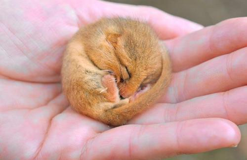 dizzymaiden:  allcreatures:  A hibernating dormouse curls up in the palm of a hand, blissfully unaware it has been rescued from a back garden. The tiny animal can be only be handled for just a few seconds because the touch of human skin would wake it prematurely. Dormouse expert Dave Williams saved the three-inch creature from death after it was left exposed to frost, wind and rain when a gardener accidently raked its woven grass nest from under a hedge he'd trimmed. Picture: SIMON CZAPP / SOLENT. via telegraph uk