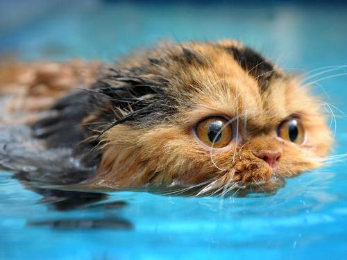 gretilla:  yukikoike:  778:  swimming cat | Prinny the swimming cat | Courier Mail on we heart it / visual bookmark #1715544