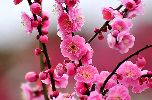 Heavenly Japanese Ume (via naruo0720)