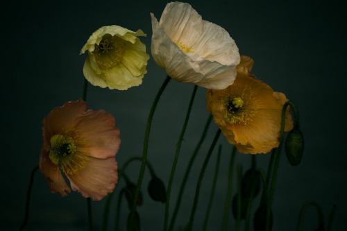 thebeldam:  beware-of-people:  theowlhooteth:  marlolavonne:  Poppies. Lake Louise, 2008.