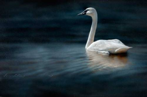 This weeks artwork… This weeks art is a painting of a swan so beautiful and graceful!!!