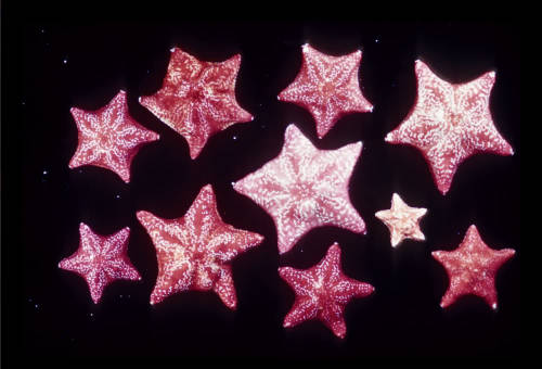 Deep sea red star.  estnespes.tumblr.com