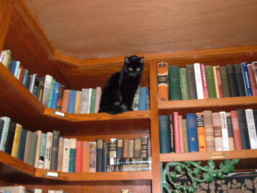 thepaisleyelf:  This is just the sort of cat that would live in my dream bookstore. I would have about two or three that just wandered about the store and laid on top of the books.