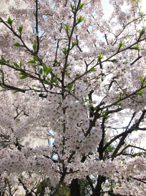 It's Cherry Blossom here in Japan! This really isn't the sort of stuff that I photograph, but who could pass it up.  Photo by Brad Elterman