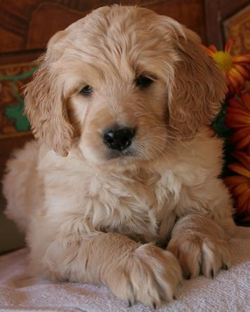 old, house-trained toy goldendoodle. (mini golden retriever/poodle mix ...