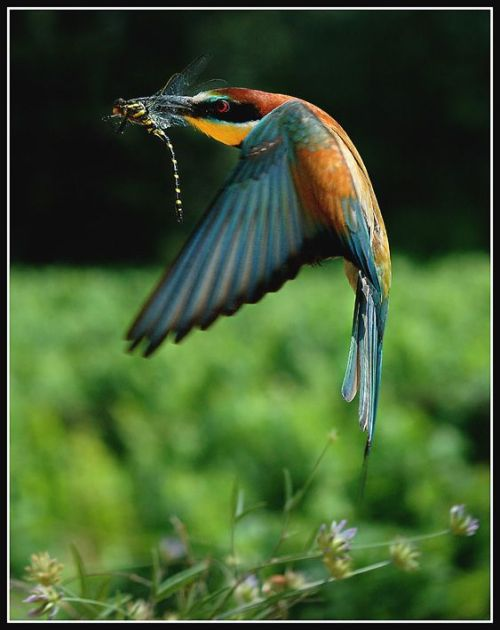 (via allcreatures) I love this photo - kingfisher(?) and dragonfly, amazing shot!
