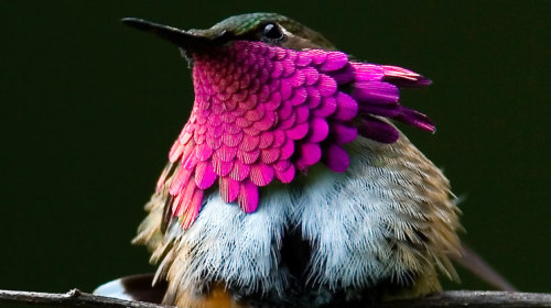 heartmindspirit:  Wine Throated Hummingbird