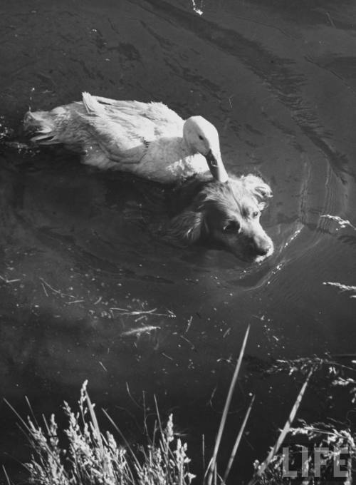 liquidnight:  Loomis Dean Donald, the  dog-loving duck, hates water, but is seen here taking a ride on the back of his  swimming pal Rusty, the Cocker Spaniel, in an irrigation ditch near the home  of their owner Robert Olson, Yakima,  Washington, June 1949. [From the LIFE magazine Photo Archive]