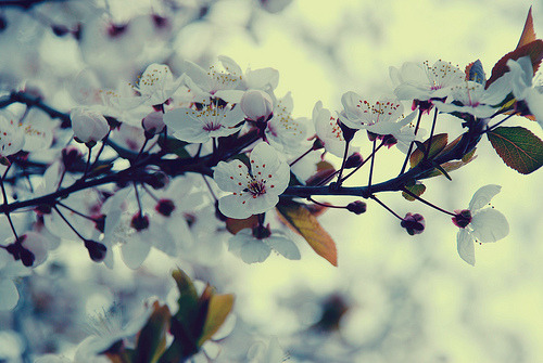 kari-shma:  white blossoms (by mrs. french)