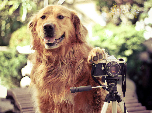 callmekcee:  Golden Retriever as Photographer ;)