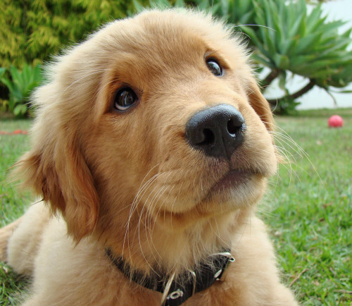 But I… via adorablelife: loveofgoldens