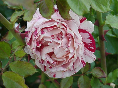 apparently this is what an actual peppermint rose looks like. cool. my favorite flowers are yellow roses!