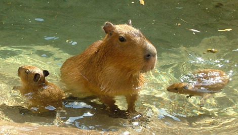 Baby capybara swimming lessons