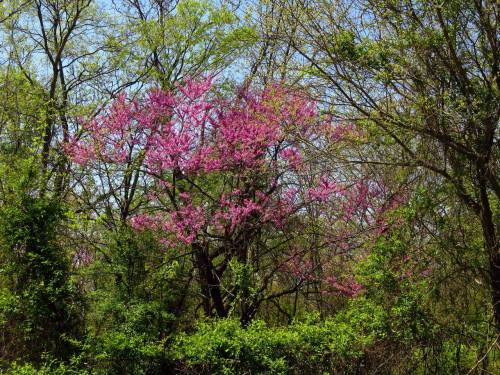 We Love Redbud Trees