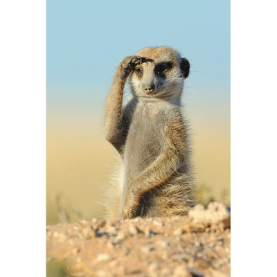 allcreatures:  A meerkat scouting for predators in the Kalahari Picture: HANNES LOCHNER / BARCROFT MEDIA (via Colours of the Kalahari: a new book of pictures by South African wildlife photographer Hannes Lochner - Telegraph)