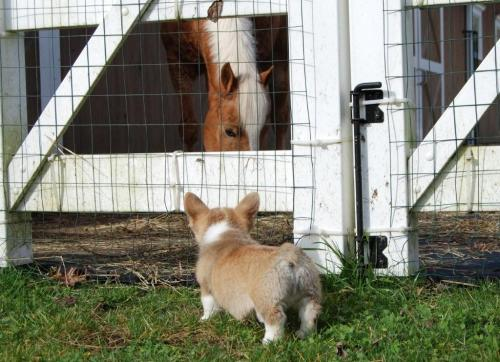 he can't even see over! widdle corgi! awww!