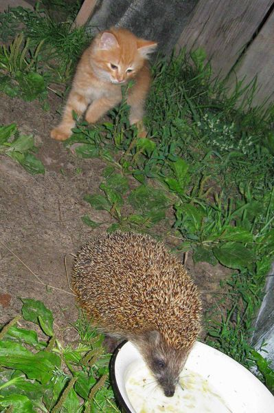 cat!  hedgehog!